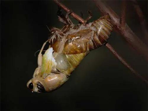 蝉蜕的功效与作用,蝉蜕的食用方法有哪些插图